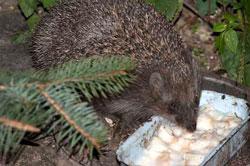 Feeding Hedgehog Eat Chocolate Cake